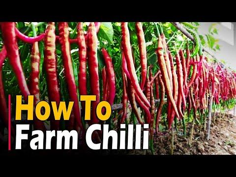, title : 'How to farm Chilli | Chilli Farming / Chilli Cultivation | Hot Pepper Farming