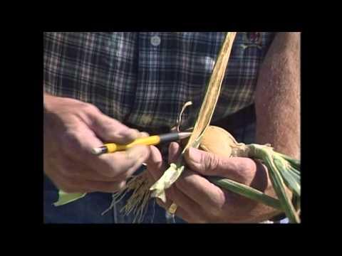 Video Onion Xanthomonas Bacterial Disease