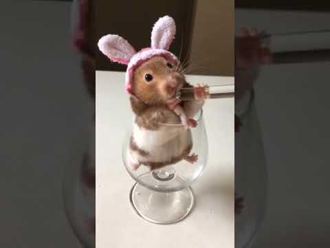 【抖音】寵物合集31 - 我是一隻小老鼠啊,咿呀咿呀喲,咿呀咿呀喲。