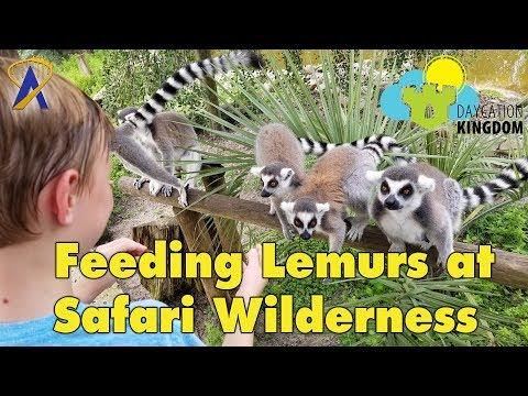 Feeding Lemurs at Safari Wilderness - Daycation Kingdom