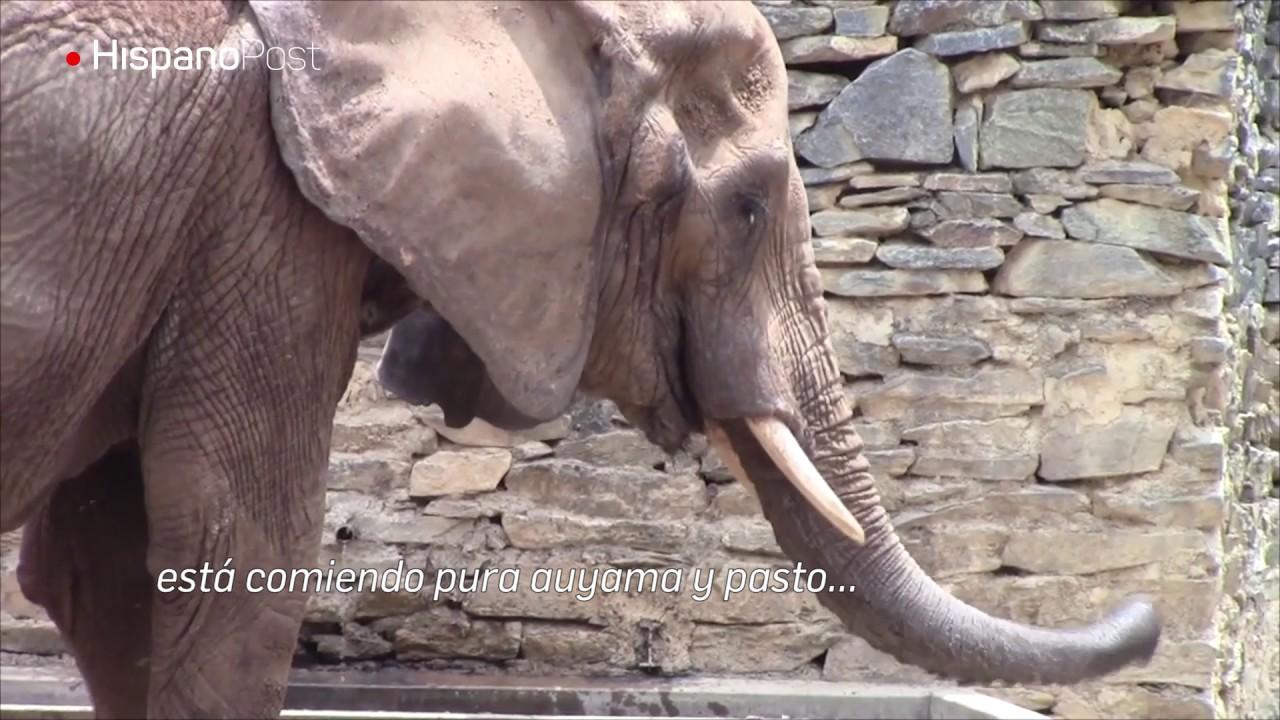 La elefante Ruperta tiene por lo menos un año comiendo mal