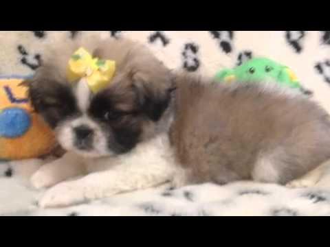 Perfect Little Pekingese Girl!