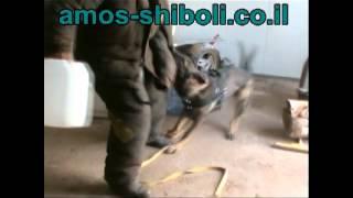 רועה גרמני באימון הגנה