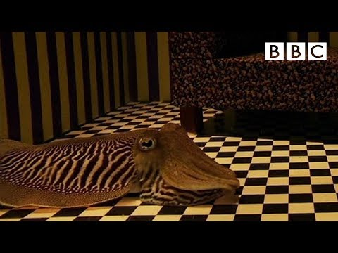 How Does a Cuttlefish Camouflage When In a Living Room?