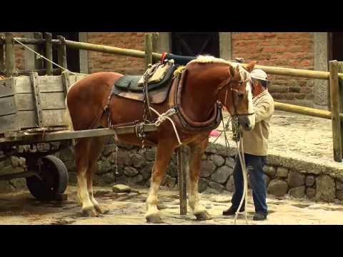 , title : 'How to Breed Draft Horses - Percheron - Blegium Horse -TvAgro by Juan Gonzalo Angel