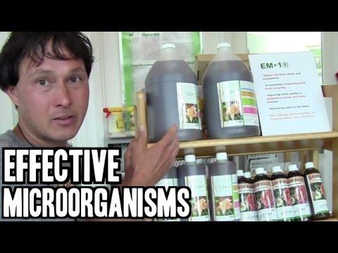 Le curcuma du microorganisme végétal du pied