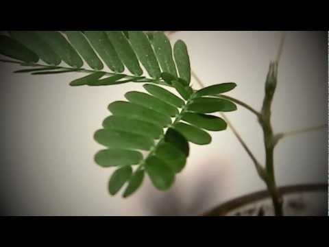 mimosa pudica a fast moving plant plant scientist