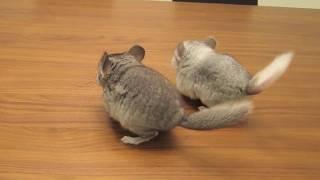 Chinchilla Tricks - Dancing Babies!