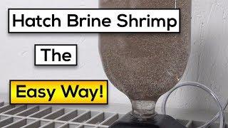 Hatching Live Brine Shrimp : Easy Steps [Fast Results!] (2018)