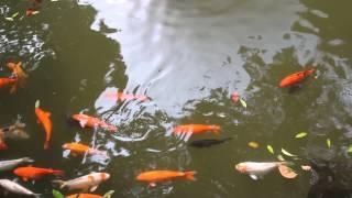 preview picture of video 'Shunde Qinghui Park Foshan China Koi Fish Dragon Fountain'