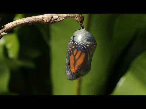 Monarch chrysalis paraziták, Aszcariasis prevalenciája
