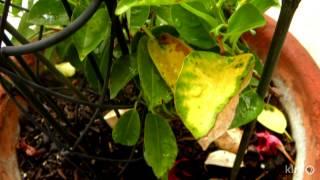 What's wrong my mandevilla? | Daphne Richards | Central Texas Gardener