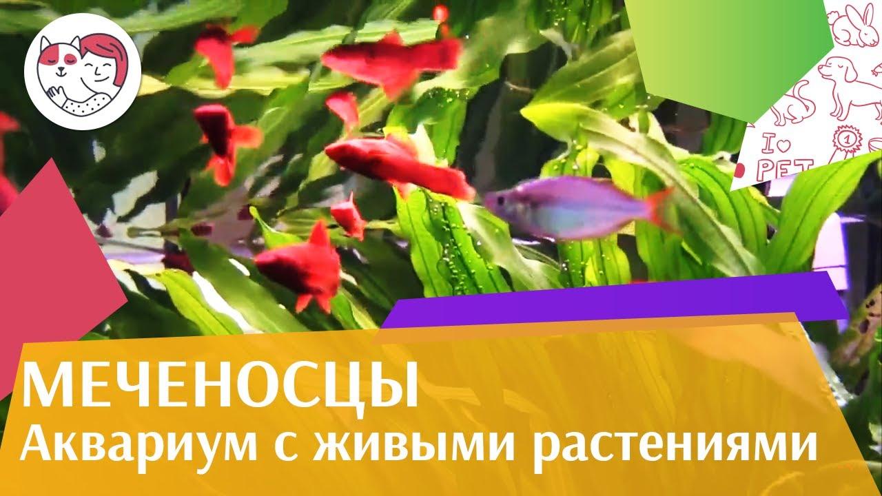 Меченосцы аквариум с живыми растениями АкваЛого на ilikePet