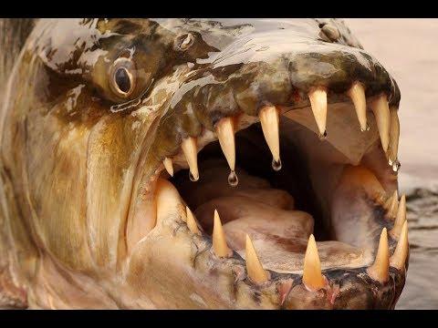 Quanti cucinare uno pshyonka per pesca