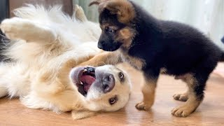 What Does A German Shepherd Puppy Do When A Golden Retriever Doesnt Want To Play