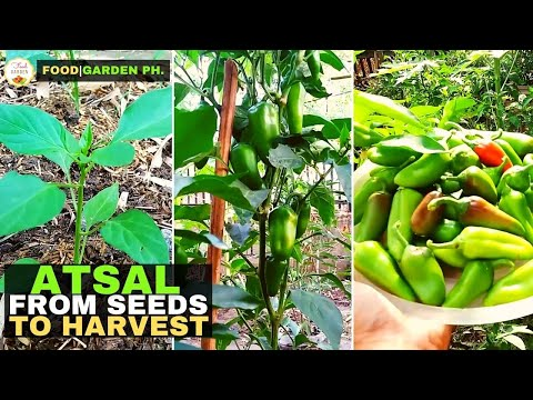 , title : 'How to plant Bell Pepper? | Paano magtanim ng Bell Pepper? | FoodGarden Ph