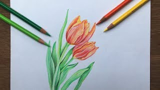 Tulip Flowers Drawing In Color Pencil   Flower Drawing