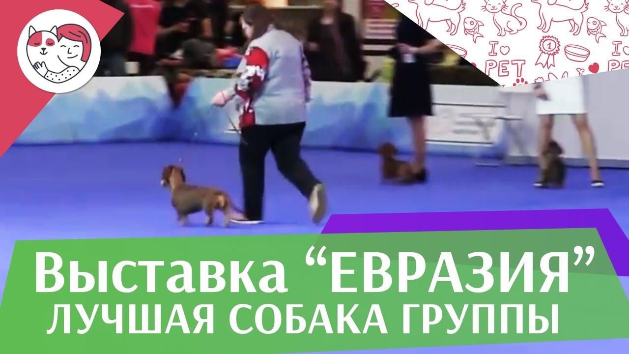 Лучшая собака 4 группы по классификации FCI 19 03 17 на Евразии ilikepet