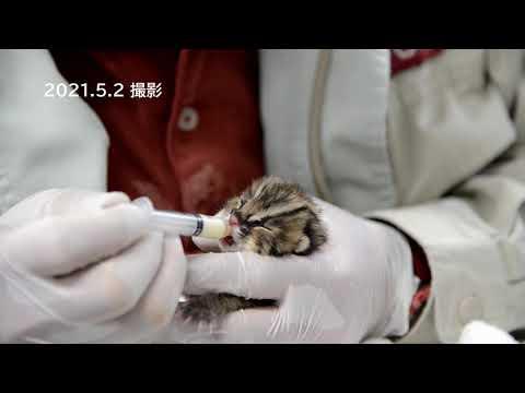 【東山動植物園公式】ツシマヤマネコの赤ちゃんの哺乳