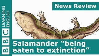 BBC News Review: Salamander