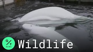 Two Formerly Captive Beluga Whales Moved to Iceland Sanctuary