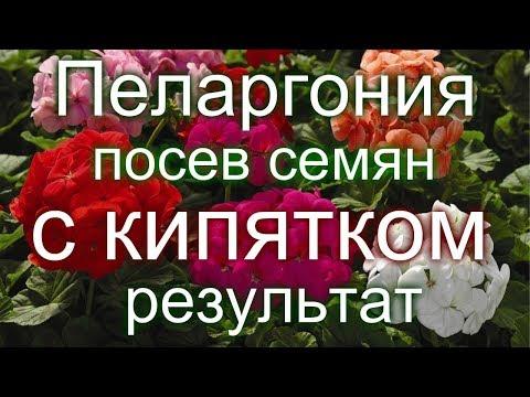 🏵️#Пеларгония. Посев семян с кипятком. Результат.