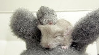 Chinchilla Snuggle Together & Afar
