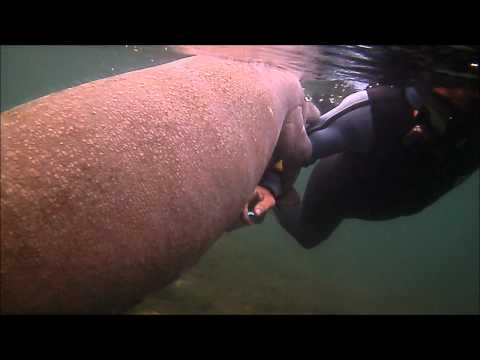 Snorkeling with Manatees, Crystal River,Florida,USA