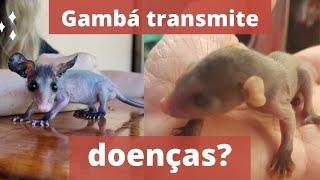 Gambá transmite doenças?