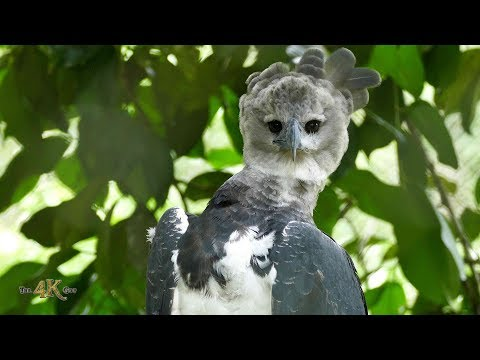 Panama: The majestic and beautiful Harpy Eagle in Ultra High...