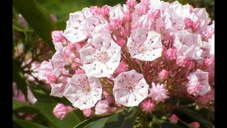 From Connecticut (Mountain laurel)