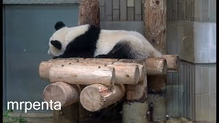 今日のシャンシャン9月23日上野動物園香香パンダ