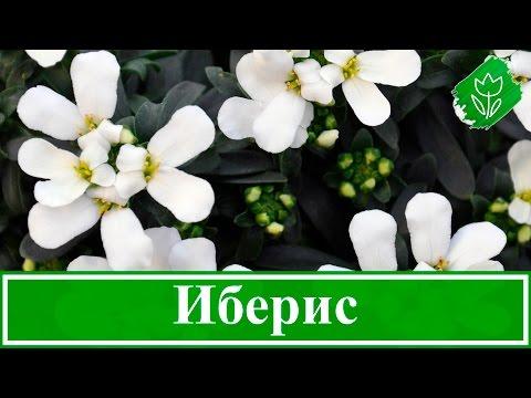 Цветок иберис – посадка и уход; выращивание ибериса из семян в открытом грунте
