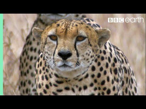 Tři na jednoho: gepardi vs. pštros