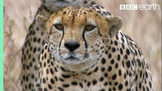 Download Youtube: Three Cheetahs Vs Ostrich | Life | BBC Earth