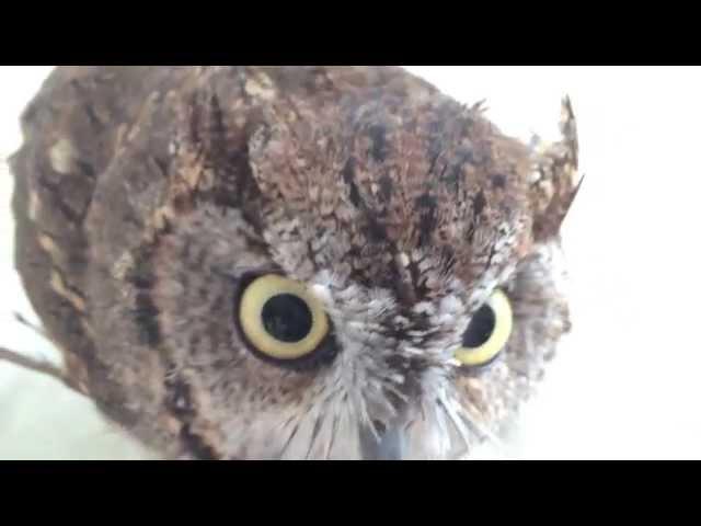 Bathtime of Cute owl / フクロウのくうちゃん、バスタイム