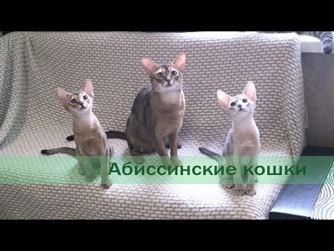 Абиссинские кошки.