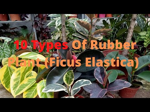 , title : '10 Types of Rubber Plant / Ficus Elastica Varieties Including Care Tips