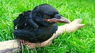 Pet crow Growing Up!