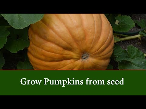 , title : 'How to Grow Pumpkins From Seed - Step By Step