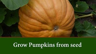 How to Grow Pumpkins From Seed - Step By Step