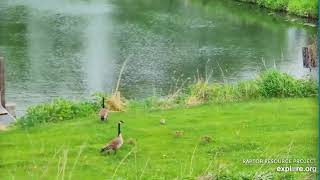 Decorah Eagles 5 25 20, 11 am Canada geese & goslings by the pond