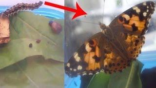 Насекомые, Превращение гусеницы в бабочку