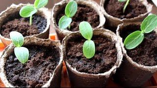 Выращивание рассады огурцов в домашних условиях видео