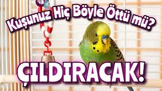 Kuşunuza Dinletin Sonra Siz Onun Ötüşünü Dinleyin - Muhabbet Kuşu Sesi!!!