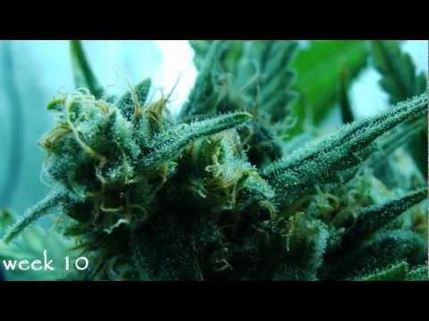 Artemisia în medicina populară pentru diabet zaharat