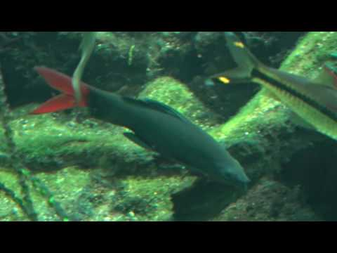 Feuerschwanz Fisch im Aquarium