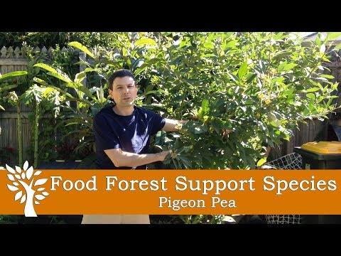 Pigeon peas  Report