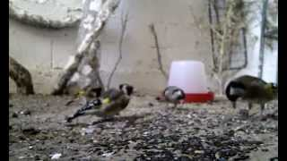 preview picture of video 'chardonneret elevage Goldfinch breeding algerie sétif'