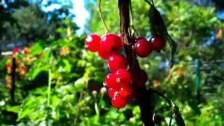 Чудеса Создателя - Цветы и ягоды (видео) 2015